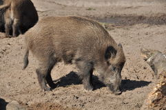 Boars. Two boars burrowing in the ground royalty free stock images