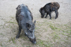 Boars. Two boars burrowing in the ground stock photo