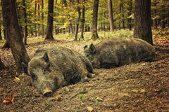 Boars. Two boars lying in the wilderness Royalty Free Stock Images