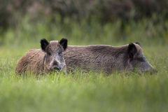 Boars in the clearing. Royalty Free Stock Photo