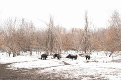 Boars in the mud royalty free stock photos