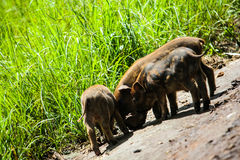 3 Boars on the road Stock Image