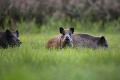 Boars in the wild Royalty Free Stock Image