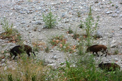 Boars. Wild boars in search of food and water Stock Photo