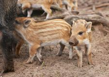 Boars Stock Image