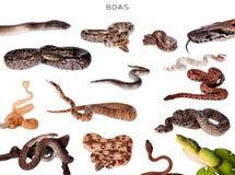 Boaschlangen eingestellt auf Weiß Stockfotografie