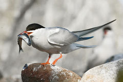 Boaster. The Common Tern (Sterna hirundo) is a seabird of the tern family Sternidae Royalty Free Stock Photography