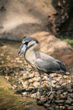 Boat Billed Heron Stock Photo