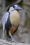Boat-billed heron Royalty Free Stock Photos