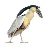 Boat-billed Heron; Boatbill - Cochlearius cochlearius Royalty Free Stock Photo