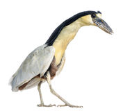 Boat-billed Heron; Boatbill - Cochlearius cochlearius Royalty Free Stock Photography