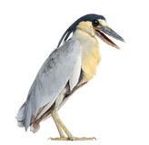 Boat-billed Heron; Boatbill - Cochlearius cochlearius Stock Photography