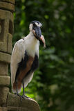Boat-billed Heron with fish in the bill. Bird in the tropic green forest with stone ruin. Wildlife scene from nature. Feeding scen Royalty Free Stock Photography