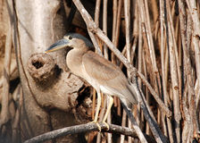 Boat-billed heron Royalty Free Stock Photography