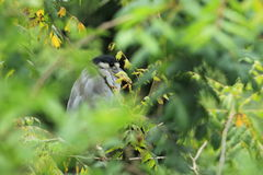 Boat-billed heron Stock Images