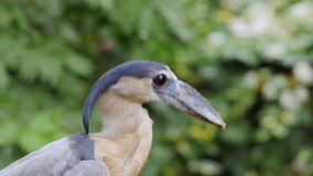 Boat-biller Heron. He is sitting in the branches of a tree. Close-up stock video footage