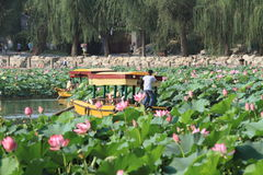 Boat crusing at Beihai lake in Beijing. When lotus flowers are blooming Royalty Free Stock Image