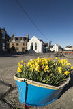 Boat of Daffodils at Johnshaven on the Aberdeenshire Coast. Stock Photos