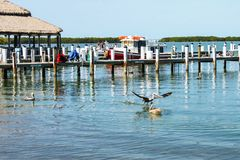 A Boat dock in the Florida keys with tug boat tied up behind and pelican coming in for a water landing in front Royalty Free Stock Images