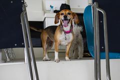Boat dog - happy brown and white dog with a smile and pink collar and her tongue hanging out on a boat. A Boat dog - happy brown and white dog with a smile and stock photos