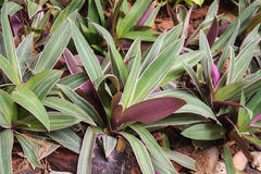 Boat lily, and oyster plant Royalty Free Stock Photography