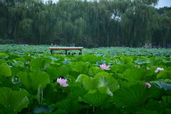 Boat in Lotus flower pond Royalty Free Stock Image