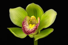 Boat orchid Royalty Free Stock Image