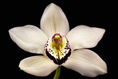 Boat orchid Royalty Free Stock Photography