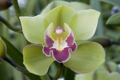 Boat orchid Cymbidium Royalty Free Stock Image