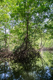 A boat ride through the mangrove forests Royalty Free Stock Photography