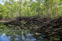 A boat ride through the mangrove forests Stock Images