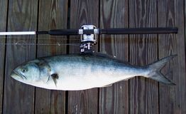 Boat Rod and Bluefish stock images