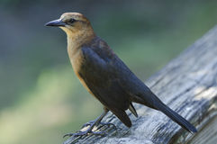 Boat-tailed Grackle Royalty Free Stock Photo