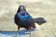 Boat-tailed Grackle Stock Images