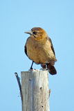 Boat-tailed Grackle Royalty Free Stock Photography