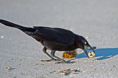 Boat-tailed Grackle Royalty Free Stock Photos