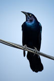 Boat-tailed Grackle Royalty Free Stock Images