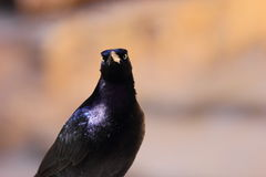 Boat Tailed Grackle Stock Images