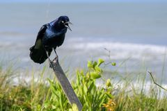 A Glaring Boat-Tailed Grackle Bird. A boat-tailed grackle balances on a wooden post glaring with his beack open stock photo