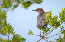 Boat Tailed Grackle bird perched Stock Image