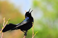 Boat-tailed Grackle Bird Singing. Male Boat-tailed Grackle perched on a tree branch in a South Florida wetland Stock Image