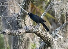 Boat tailed Grackle bird, Pickney Island Wildlife Refuge, South Carolina. Boat-tailed Grackle blackbird perched on a branch and Spanish Moss in Pickney Island stock photography