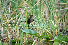 Boat-tailed grackle in Everglades National Park stock images