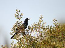 Boat-tailed Grackle in Florida. A shiny adult Boat-tailed Grackle in a tree in southern Florida Stock Photo