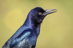 Boat Tailed Grackle at John Chestnut Sr. Park Royalty Free Stock Image