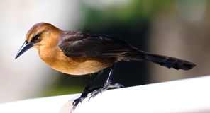 Boat-tailed grackle passerine bird beach avian of south florida Miami. Flying Royalty Free Stock Photo