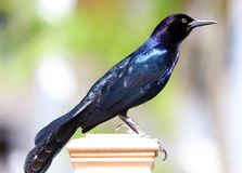 Boat-tailed grackle passerine bird beach avian of south florida Miami. Flying Royalty Free Stock Image