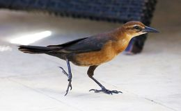 Boat-tailed grackle passerine bird beach avian of south florida Miami. Flying Royalty Free Stock Images