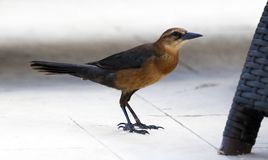 Boat-tailed grackle passerine bird beach avian of south florida Miami. Flying Stock Images