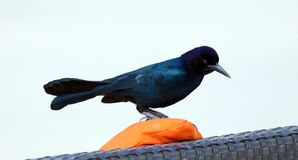 Boat-tailed grackle passerine bird beach avian of south florida Miami. Flying Royalty Free Stock Photography